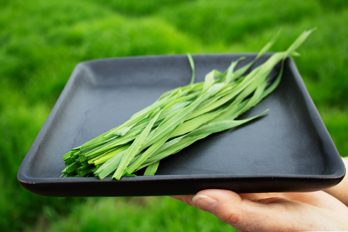 大麦若葉 日本産 八女 福岡県 青汁 100% 高級 上質 畑から採れたて